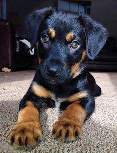 Jake the Labrador Mix -- Puppy Breed: German Shepherd Dog / Labrador Retriever