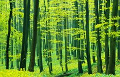 Beech forest in spring, Germany (© blickwinkel/Alamy)