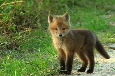 baby fox baby animals Must. Just Cool Pics: Adorable Examples Of Baby Birds Photography Need a Quick Workday Boost? Cute Creatures, Beautiful Creatures, Animals Beautiful, Cute Little Animals, Cute Funny Animals, Adorable Baby Animals, Cutest Animals, Fuchs Baby, Tier Fotos