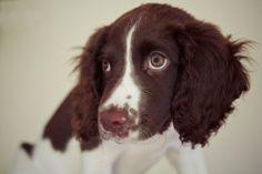Springer spaniel Puppy dog eyes