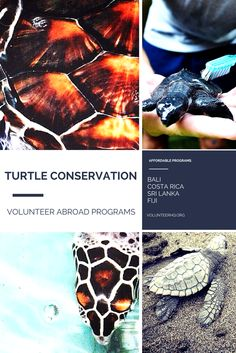 Interested in volunteering abroad in Turtle Conservation? Learn about IVHQ's affordable volunteer travel programs in Bali, Costa Rica, Sri Lanka and Fiji!