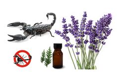 Scorpions are frightening little creatures.Tryingnaturalrepellentsis the way to go. What to do: They do not like lavender and cedar oil. 1.Cedar oil spray: Mix 25 drops of cedar essential oil in a cup of water and spray on window holes, cracks and around doors 2. Diatomaceous Earth: Sprinkle around the foundation of the home to…