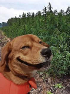 "Originally posted for link to cute article ""Scientific Proof Dog Lovers Make Great Friends,"" but what I want to know is - is that a field of marijuana, and if so, is that why he's smiling? Animals And Pets, Baby Animals, Funny Animals, Cute Animals, Cute Puppies, Cute Dogs, Dogs And Puppies, Sweet Dogs, Sweet Sweet"