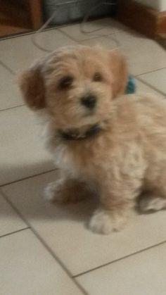 Kirby Maltese x Poodle   Pawshake