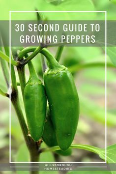 Quick and dirty 30 second guide to growing peppers of all kinds. Everything you need to know to start growing peppers. pH, water, spacing, planting times, etc. A quick reference guide for the homesteader's garden.