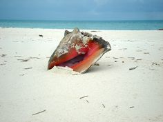 Conch on a sand bar in the Exuma Islands.