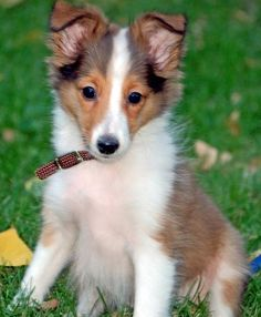 Maverick the Shetland Sheepdog. Just like Lassie. And Guapo. My aunts dog