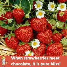 Fresh Strawberries and chocolates   http://thegardeningcook.com/inspirational-flower-photos/