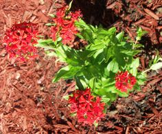 maltese cross care of- prune spent flowers to encourage new blooms