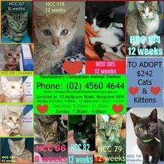 Hawkesbury Pound is overloaded with kittens that are in desperate need of rescue or adoption. If you're interested in adopting or think you can rescue some of them, then please contact Hawkesbury Pound, NSW on (02) 4560 4644 (if no answer, leave a message) or email companionanimal@hawkesbury.nsw.gov.au