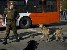 Cachorro de rua parece 'brigar' ao latir e mostrar suas presas a um policial em Santiago, no Chile (Foto: Martin Bernetti/AFP)