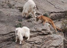 Cougar stalking mountain goat