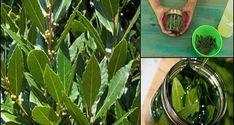 Φτιάξτε μόνοι σας Φαρμακευτικό Λάδι από Φύλλα Δάφνης! Θεραπεύει φλεβίτιδα, πόνους στις αρθρώσεις, έλλειψη μνήμης και πονοκεφάλους.   DESTORA