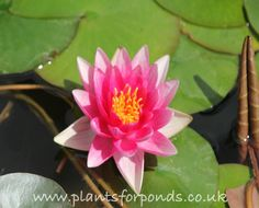 Rene Gerard - Water Lily (Nymphaea Rene Gerard) Rene Gerard will bring a bright addition to your pond during the summer. Splashed with crimson, the bright pink blooms really make this lily stand out. Summer Flowers, Colorful Flowers, Red Water, Pond Plants, Types Of Plants, Water Lilies, Bright Pink, Bloom, Lily