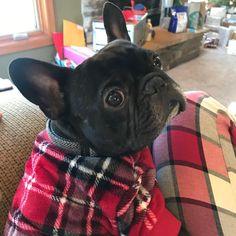Merry Christmas everyone! #tigg #narcolepsy #frenchiesoverload, #frenchiephotos #french_bulldogs #daily_frenchie #frenchbulldog…