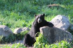 Bear staked out his feeding station