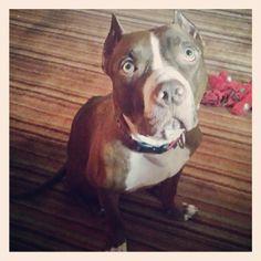 Linus  Pit Bull Terrier • Adult • Male • Medium  Navarre Ferret and Dog Rescue Navarre, FL