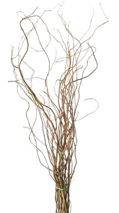 Curly Willow Branches, Tall (5 bunches, shipping included!)