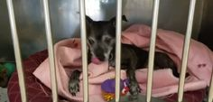 "8/31/17 A senior dog who is living at an animal shelter in Beacon, New York, does his best to make himself comfortable in his kennel. The dog, named ""Tyke,"" even knows how to make his own bed inside of his shelter kennel. Tyke is being cared for by Animal Rescue Foundation, Inc., (ARF) – the agency …"