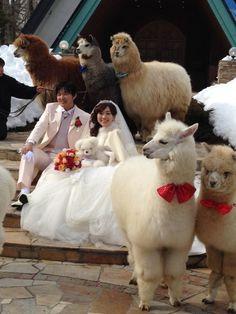Imaginen que podrían ser como esta pareja, viviendo felices para toda la alpaca. | Hay un hotel en Japón donde puedes alquilar una alpaca para que venga a tu boda