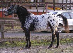 Polish Half-Bred Horse - mare Daga