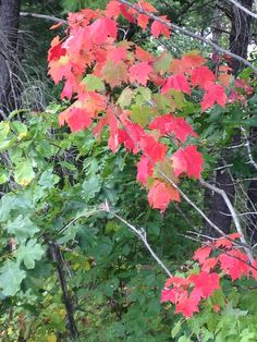 The Montfair  maple trees are aflame in red this October!