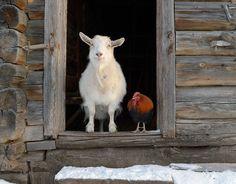Amor Animal, Mundo Animal, Beautiful Creatures, Animals Beautiful, Farm Animals, Cute Animals, Tier Fotos, Farm Yard, Farm Life
