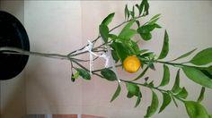 cytrusy owoce rodzaje