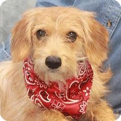 Garfield Heights, OH - Terrier (Unknown Type, Medium) Mix. Meet Lady-PENDING, a dog for adoption. http://www.adoptapet.com/pet/17973024-garfield-heights-ohio-terrier-unknown-type-medium-mix