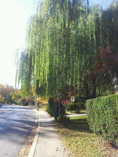 Willow tree cedar lane