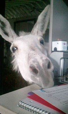 "Hey Vanner Lovers! Hody, our resident free range donkey, says ""Hi!"" Courtesy: Gypsy Gold, LLC, Ocala, FL (USA)."