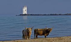ganado refrscandose en la isla al noroeste de Edcocia