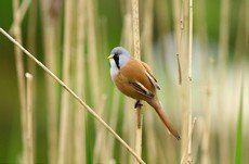 ♫ Bigotudo - Escucha la voz del pájaro