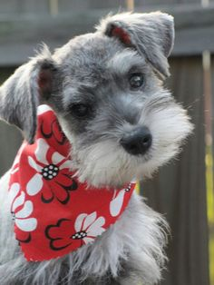 What a sweet face on this darling mini schnauzer **