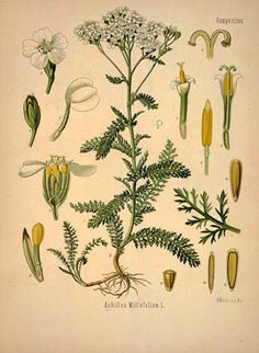 common yarrow drawing