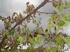 Kajszi gutaütés - gazigazito.hu Plants, Plant, Planets