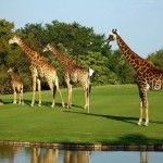 Leopard Creek Golf Course, South Africa...one of a few places where giraffes might join you on the green lol!
