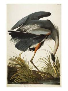 Great Blue Heron Giclee Print by John James Audubon - AllPosters.co.uk