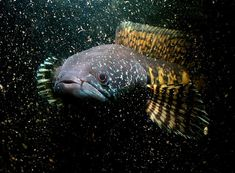 Channa Fish | 56 Best Snakehead Fish Species Images On Pinterest Snakehead