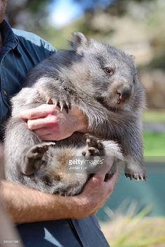 wombat in the arms of a carer in Tasmania wild life park