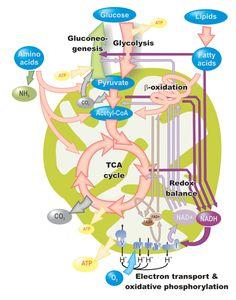 Siete consejos para aumentar tu metabolismo