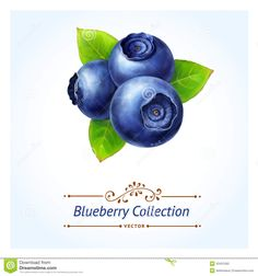 Blueberry Branch Stock Vector - Image: 43431393