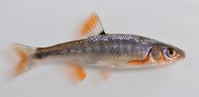 Scarlet Shiner (Male) - Lythrurus fasciolaris  Breeding male scarlet shiners are one of the more colorful of Ohio's minnow species. Like most fish species females and non-breeding males display drastically less bright colors.