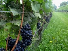 St. Catharines vineyard