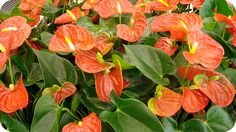 Anturios. Amamis gostava deles e plantava no jardim.Tinha um canteiro como este.