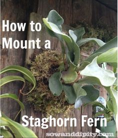How to mount a Staghorn Fern - Sow & Dipity Air Plants, Garden Plants, Indoor Plants, Shade Plants, Indoor Garden, Outdoor Gardens, Container Gardening, Gardening Tips, Kraut