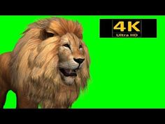 The lion is a species in the family Felidae; it is a muscular, deep-chested cat with a short, rounded head, a reduced neck and round ears, and a hairy tuft a. Green Screen Video Backgrounds, Green Background Video, Black Background Wallpaper, Studio Background Images, Animation Background, Background For Photography, Green Backgrounds, 3d Wallpaper Lion, Backgrounds Free