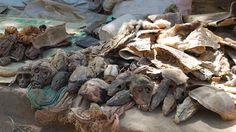 El mercado de fetiches de Akodessewa, en Lomé, Togo, es el mercado de fetiches más grande del mundo y el refugio de los practicantes del vudú. Cuando hablamos de fetiches, nos referimos a los talismanes que se usan en la medicina vudú. Objetos como cabezas de cocodrilo, manos de chimpancé, cobras y huesos. Muchos huesos.