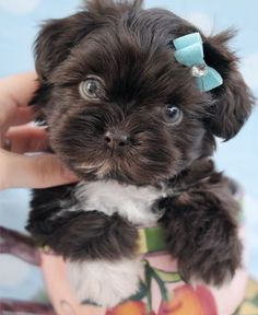Beautiful Chocolate Shih Tzu Puppy