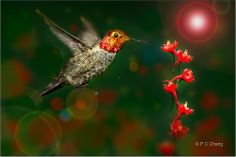 It's a beautiful morning...... The sun was slowly rising from the horizon...…… A tiny stem of red flower sparkles in the warm soft rays of the morning sun……...  While a handsome Anna's Hummingbird is inspecting this enchanting red blooming blossoms..